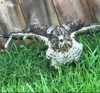 Hawk hits fence